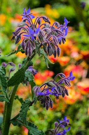 Borage (Borago officinalis) Photo: Jennifer Lee Segale