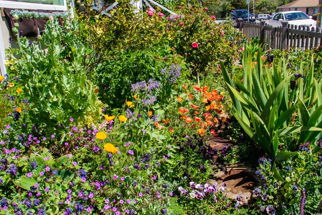 A fragrant and colorful tapestry of herbs, annuals, and perennials, thrive in the author's tiny coastal garden.  Photos: Jennifer Lee Segale