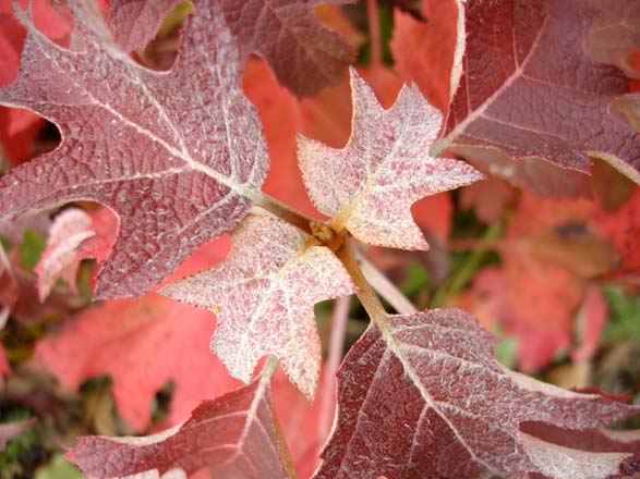 Hydrangea quercifolia 'Pee Wee' Photo: Daniel Mount