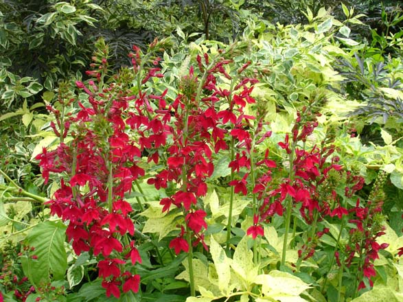 Lobelia speciosa 'Compliment Deep Red', with Cornus sericea 'Silver and Gold' and Phytolacca americana 'Silberstein'. Photo: Daniel Mount