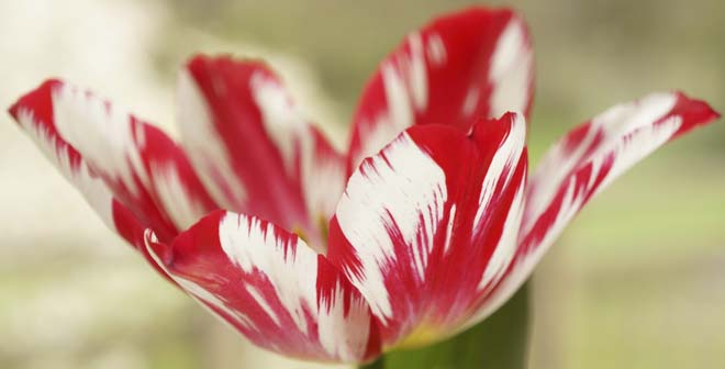 I grew Tulipa 'Silver Standard', an heirloom from 1760, in a pot on my kitchen window sill.  Photo: Daniel Mount