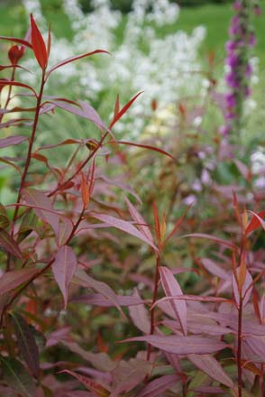 The reddish-bronze spring foliage of Rhododendron lutescens with Digitalis purpurea and Hesperis matrionalis in the background.  Photo: Daniel Mount