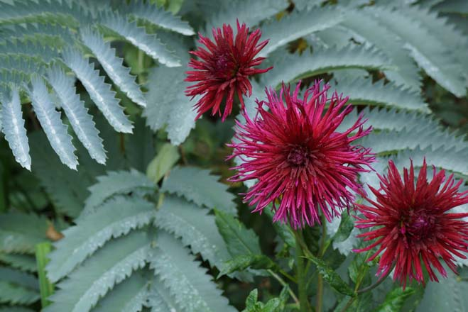 Dahlia 'Urchin' with Melianthus major. Photo: Daniel Mount