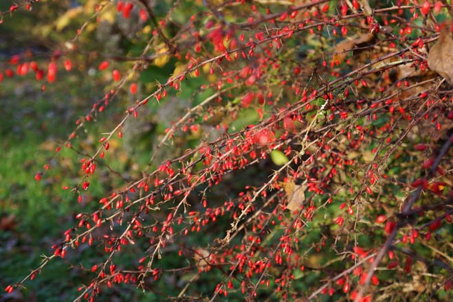 Berberis thunbergii f. atropurpurea 'Rose Glow' lights up a hedgerow at our farm. Photo: Daniel Mount