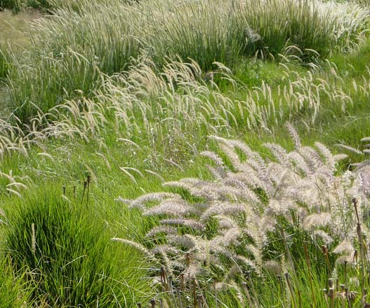 All grasses exhibit the same form, but subtle differences in stature, foliage and flowers create visual interest. Photo: Billy Goodnick