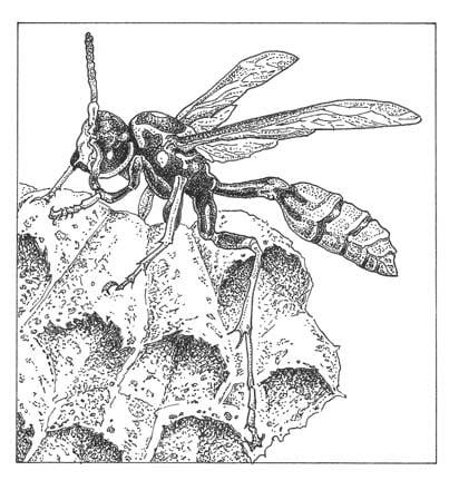 Western paper wasp (Mischocyttarus flavitarsis) Illustration: Craig Latker