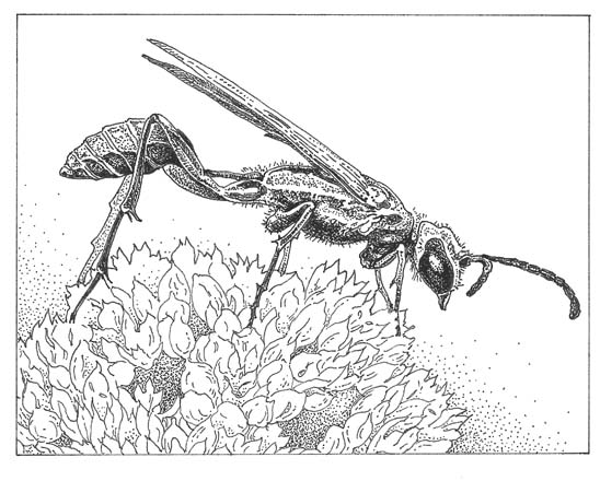 Blue mud dauber (Chalybion californicum) Illustration: Craig Latker