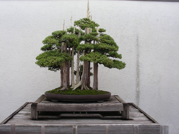Studying bonsai with John Naka, whose work is shown here, was my gateway to Japanese gardens and started my passion for design. Photo: Billy Goodnick