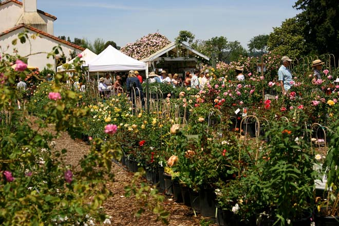 Russian River Rose Company nursery bustles with activity on a busy Mother's Day.  Photo: Mikala Kennan