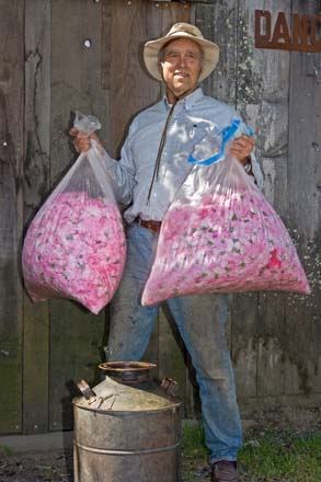 Michael totes bags of fresh rose petals ready to be processed. Photo: Mikala Kennan
