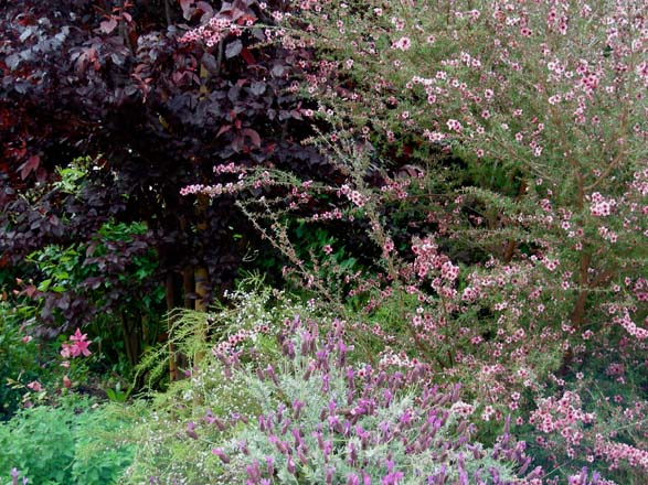 The colors of purple-leaf plum (Prunus cerasifera), New Zealand tea tree (Leptospermum scoparium) and Spanish lavender (Lavandula stoechas) all reside close to each other on the color wheel. Photo: Billy Goodnick