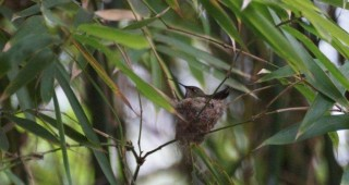 Allen's hummingbird (Selasphorus sasin) nesting. Photo: Miguel Ordenaña