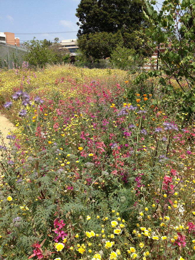 Composed entirely of California natives, the new Pollinator Garden attracts butterflies, bees, and other beneficial insects. Plants include tansy-leaf phacelia (Phacelia tanacetifolia), tidy tips (Layia platyglossa), elegant clarkia (Clarkia unguiculata), and Palmer penstemon (Penstemon palmeri). Photo: Carol Bornstein