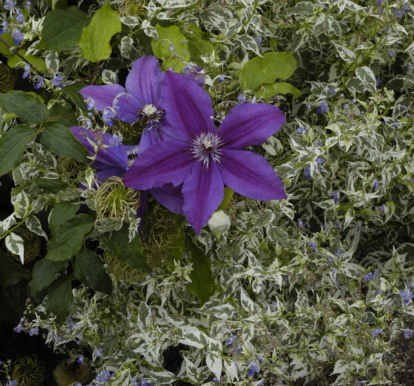 Clematis 'Kacper' with Caryopteris 'Summer Sorbet' Photo: courtesy Rogerson Clematis Collection