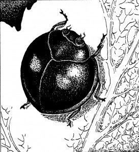 Twice-stabbed lady beetle (Chilocorus kuwanae) Illustration: Craig Latker