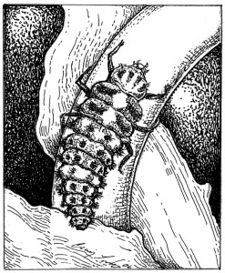 Larva of the convergent lady beetle (Hippodamia convergens) Illustration: Craig Latker