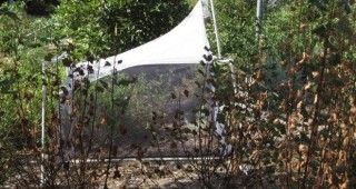 A malaise trap, a large tent-like structure designed to trap flying insects for study. Photo: Carol Bornstein