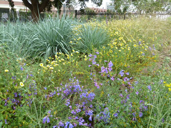 Leymus 'Canyon Prince', Penstemon 'Margarita BOP', tidy tips (Layia platyglossa), and nodding needlegrass (Stipa cernua) mingle in the meadow-like Pollinator Garden. Photo: Carol Bornstein