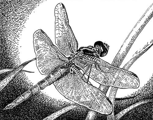 Flame skimmer dragonfly (Libellula saturata) Illustration: Craig Latker