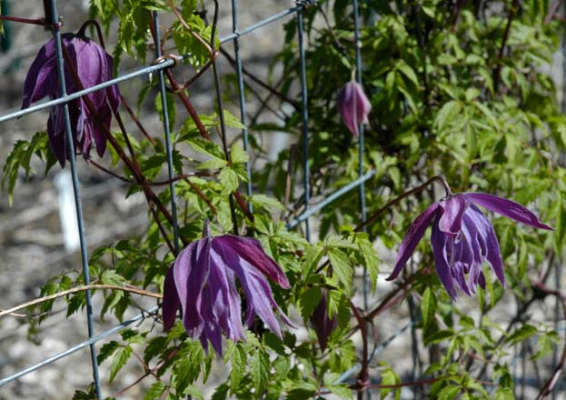 Clematis 'Sparkle Plenty' Photo: courtesy Rogerson Clematis Collection