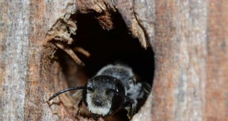A leaf-cutting bee (Megachile sp.) emerging from the bee hotel. Photo: Brian Brown
