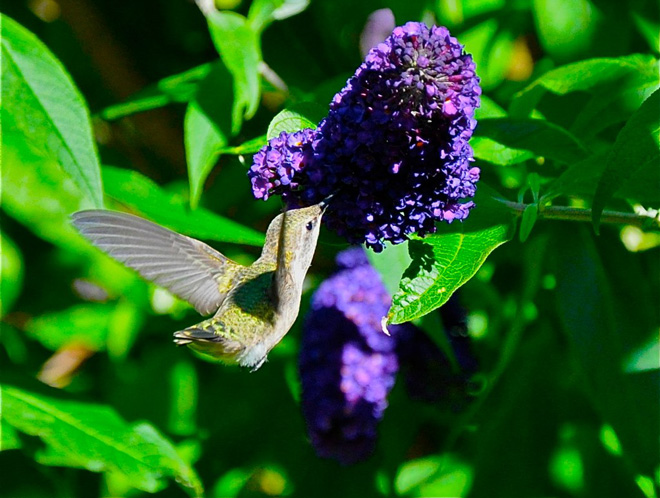 A hummingbird gathers nectar from a blossoming butterfly bush (Buddleia)  Photo: Tora Rocha