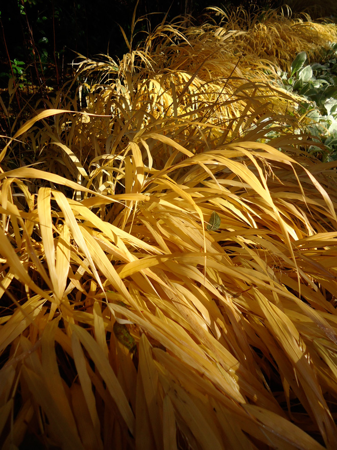 Hackonechloa macra 'All Gold' in fall color. Photo: Daniel Mount