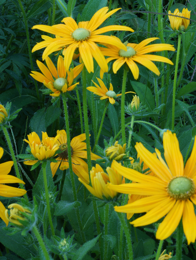 Rudbeckia hirta 'Green Eyes'. Photo: Daniel Mount