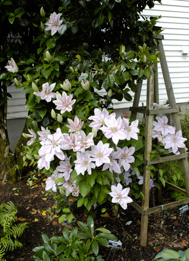 The large-flowered Clematis 'Fairy Queen' is an antique variety (1875) rarely seen in the trade. Photo: courtesy of Rogerson Clematis Collection