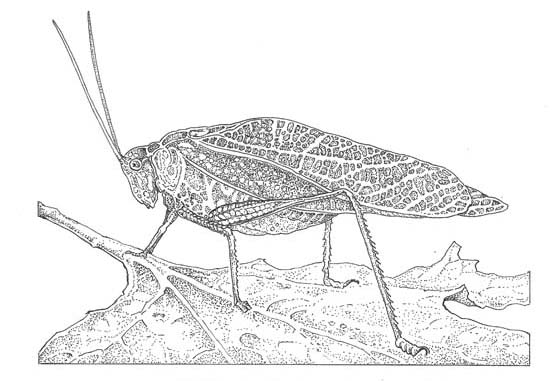California angle-winged katydid (Microcentrum californicum) Illustration: Craig Latker