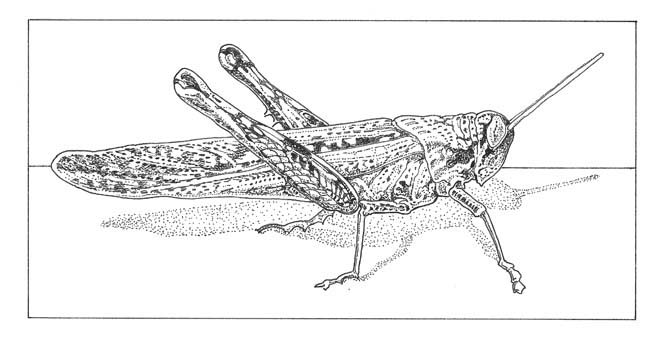 Grey bird grasshopper (Schistocerca nitens) Illustration: Craig Latker
