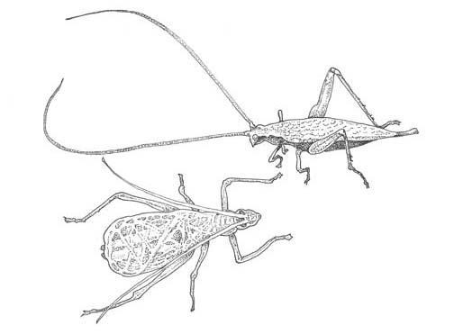 Snowy tree cricket—female above, male below (Oecanthus fultoni) Illustration: Craig Latker