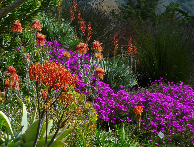 Aloe striata, Leucospermum reflexum, and Lampranthus roseus in the South African garden at Leaning Pine Arboretum.  Photo: Mike Bush
