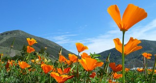 California poppies (Eschscholzia californica) light up the Entry Garden at Leaning Pine Arboretum in spring.  
