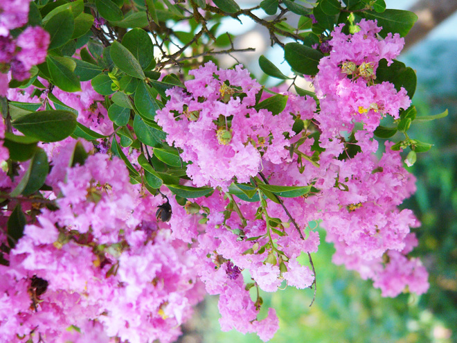 The flowers of crape myrtle (Lagerstroemia indica) provide color in a Mediterranean plant palette. Photo:  Nicki Bradford