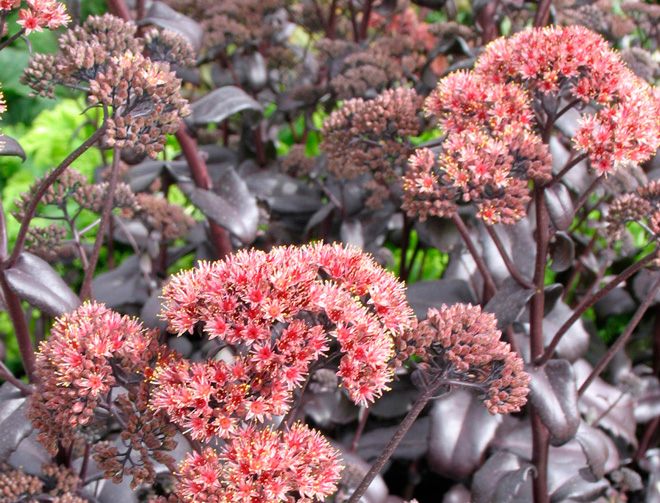 Sedum 'Postman's Pride'  Photo: courtesy of Skagit Gardens