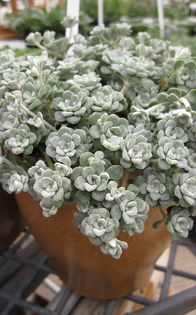 Sedum spathulifolium 'Cape Blanco' Photo: courtesy of Skagit Gardens