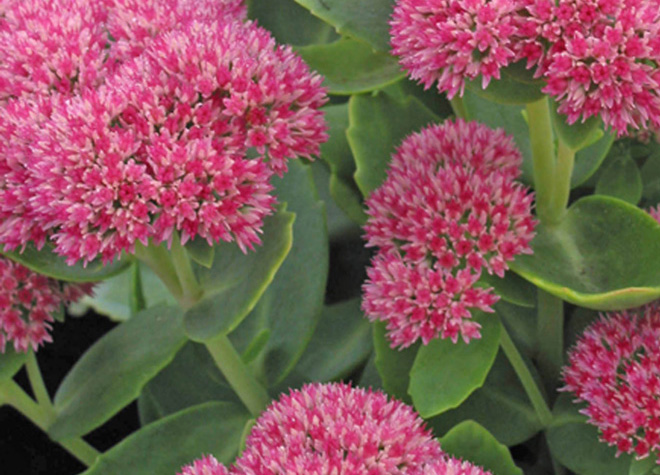 Sedum spectabile 'Autumn Joy Photo: courtesy of Skagit Gardens