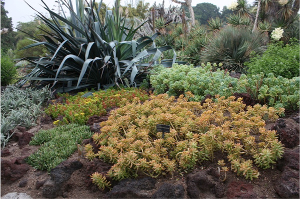 Sedum nussbaumerianum (front center) in a garden composition. Photo: Luen Miller, Monterey Bay Nursery