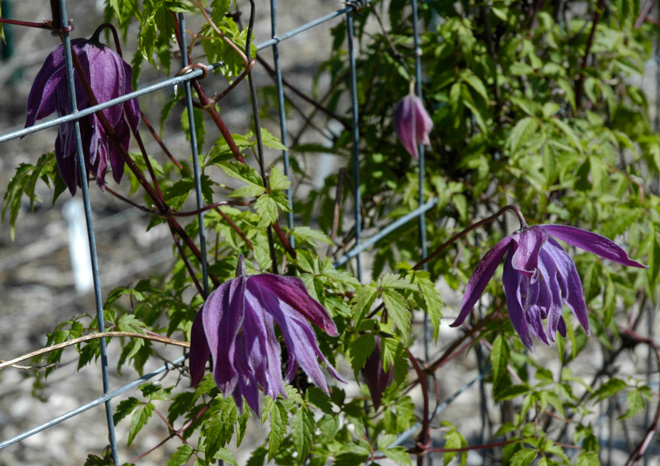 Clematis 'Sparkle Plenty' is an FRCC introduction from a seedling salvaged by Brewster Rogerson.   Photos: courtesy of Rogerson Clematis Collection