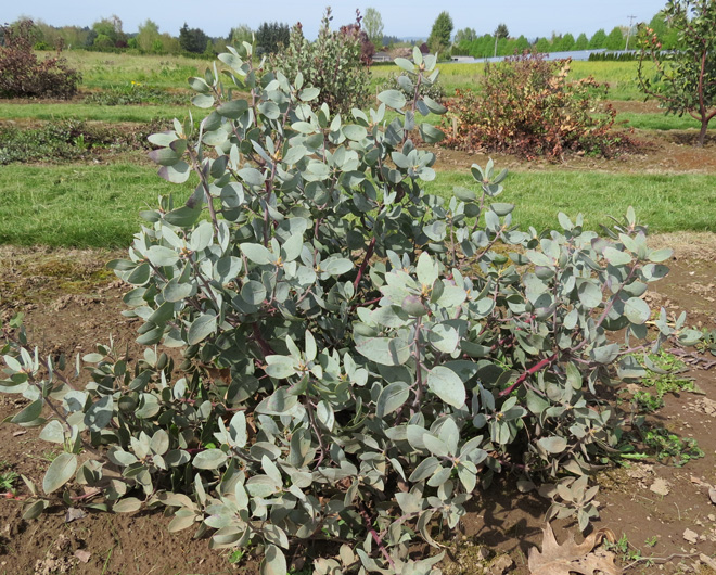 This Arctostaphylos glandulosa SBH 7717 (a collection by Sean Hogan) planted in the 2011 trial withstood temperatures down to 10°F over the winter of 2013 with little to no damage.  Photo: Neil Bell