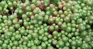 sedum-feature