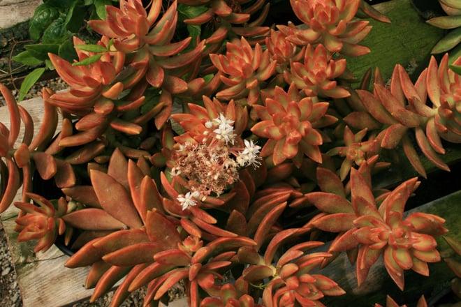 Sedum nussbaumerianum  Photo: Luen Miller, Monterey Bay Nursery