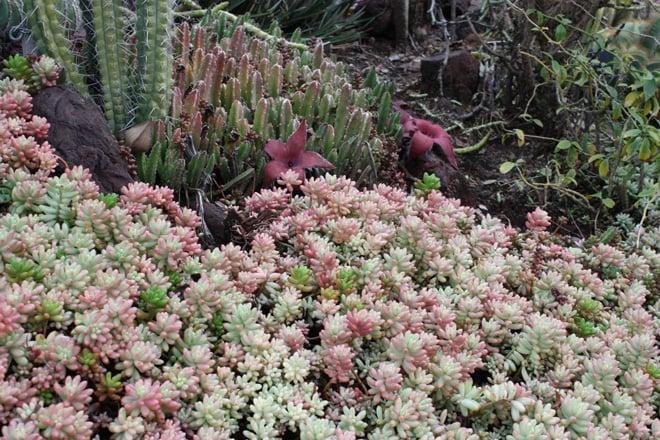 Sedum rubrotinctum 'Aurora'  Photo: Luen Miller, Monterey Bay Nursery
