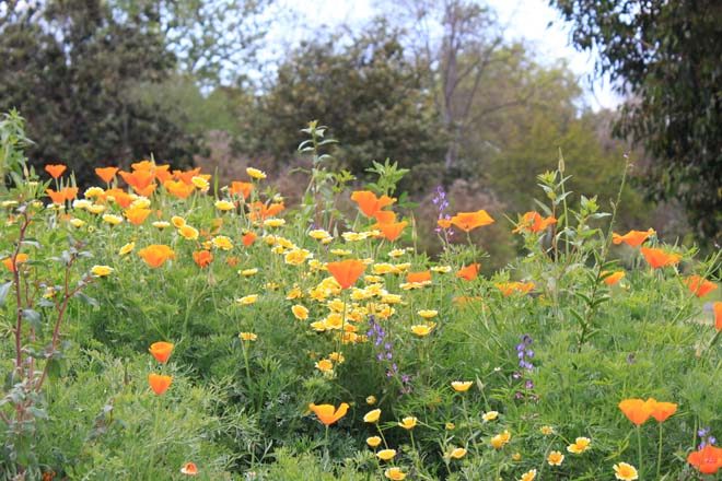 Showy orange California poppies (Eschscholzia californica) and  golden tidy tips (Layia platyglossa) dominated the spring wildflower show.  Photo: courtesy of Los Angeles County Arboretum