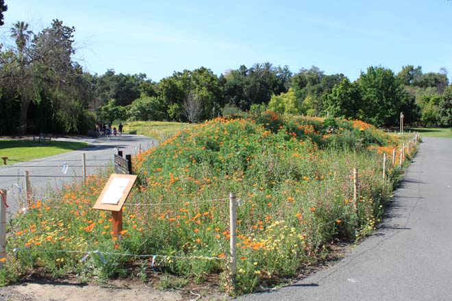 April 8, 2014: In just a few months, the formerly bare field at the Arboretum is filled with color and teeming with birds and insects. Photo: courtesy of Los Angeles County Arboretum