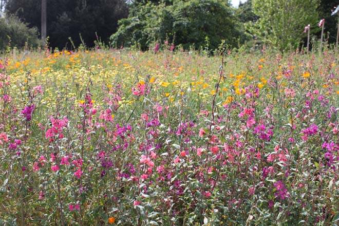 Wildflower bloom in mid-April when the site was a riot of color and a magnet for bio-diversity. Photo: courtesy of Los Angeles County Arboretum