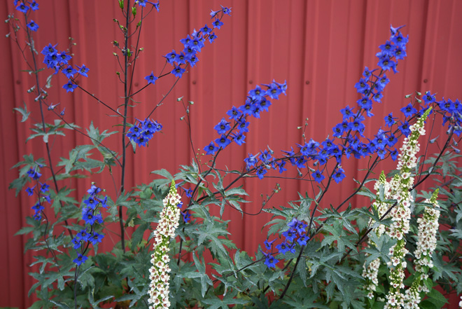 Delphinium grandiflorum 'Blue Butterfly' Photo: Daniel Mount