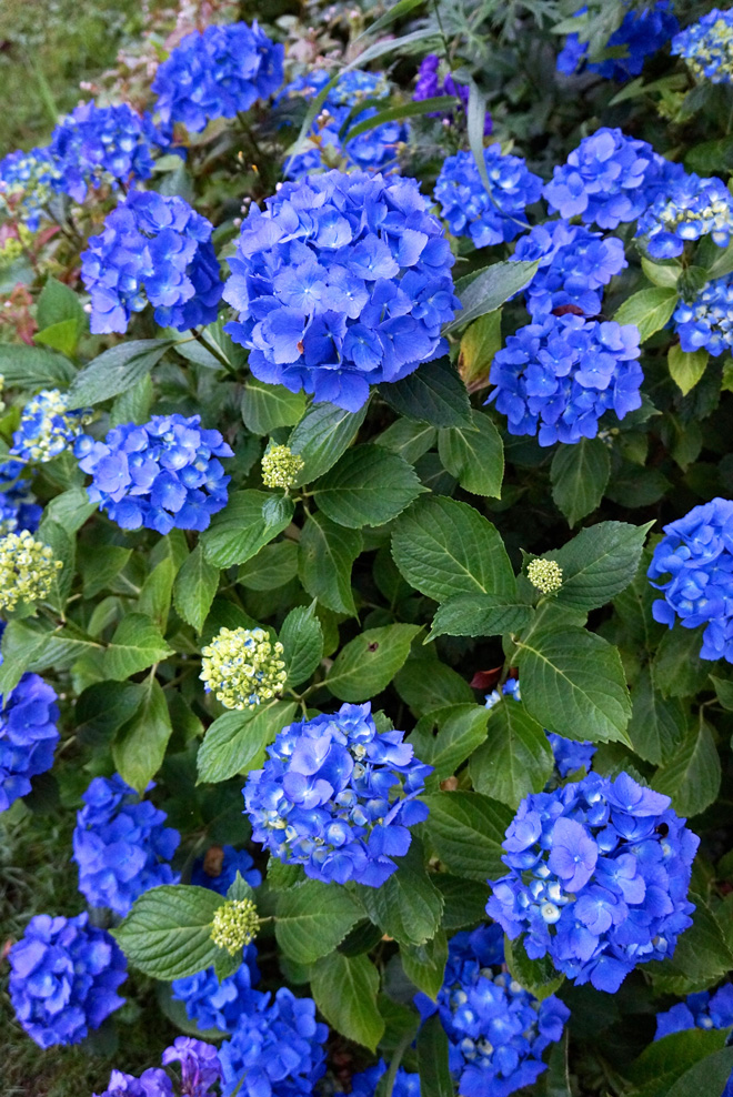 Hydrangea macrophylla 'Enziandom' Photo: Daniel Mount