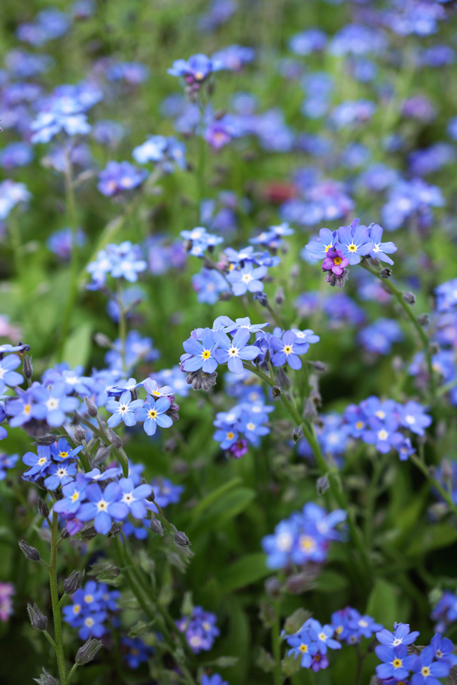 Myosotis sylvatica 'Royal Blue' Photo: Daniel Mount
